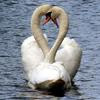 День святого Валентина: птицы, христианство и любовь